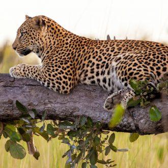 Botswana Leopard Sighting