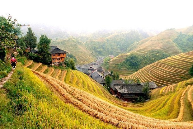 Terraces of ripened rice plants colour the hills golden yellow in China. Photo by Chris Nener / CC BY-ND 2.0