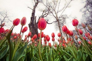 Tulips blossoming in Emirgan Park in Istanbul, capital of Turkey