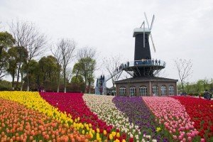 Tulips and windmill in Shanghai Flower Port in China