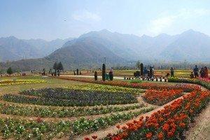 Tulips in Srinagar in India