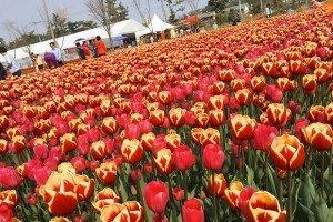 Tulips in Taean in South Korea