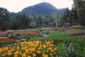 Tulips in Tao Yuan Valley in Taiwan