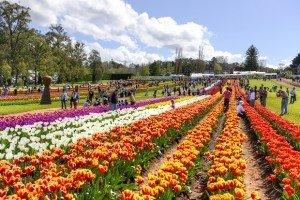 Tesselaar Tulip Festival in Yarra Valley, Victoria, Australia