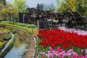 Tulips in Tonami in central Japan